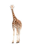 Isolated giraffe. Standing giraffe isolated on white Royalty Free Stock Photos