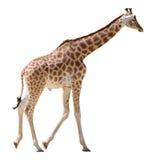 Isolated giraffe walking. Giraffe (Giraffa camelopardalis) walking isolated on white background Stock Photo