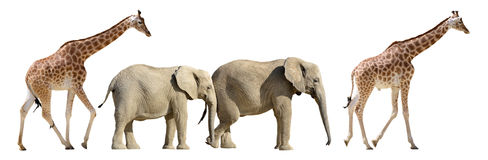 Isolated giraffes and elephants walking Stock Photography