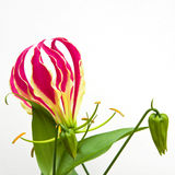 Isolated Gloriosa superba flower. Isolated Gloriosa superba Rothschildiana flower, also known as the Glory Lily stock images