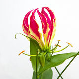 Isolated Gloriosa superba 'Rothschildiana' in bloom Stock Photography