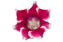 Isolated gloxinia flower Royalty Free Stock Photography