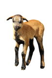 Isolated goat kid. Brown goat kid isolated over white background Royalty Free Stock Photo