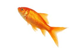 Isolated Gold Fish. On a white background Royalty Free Stock Photos