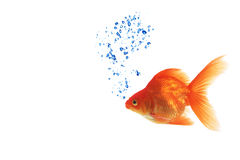 Isolated of the gold fish on white Stock Photography