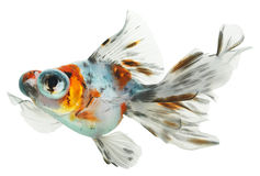 Isolated goldfish Stock Photos