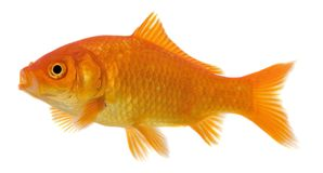 Isolated goldfish royalty free stock image