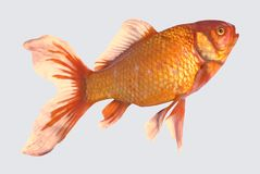Isolated goldfish stock images