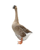 Isolated Goose Stock Photography