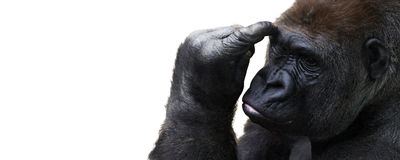 Isolated gorilla thinking with room for text Royalty Free Stock Image