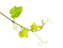 Isolated grapevine shoot