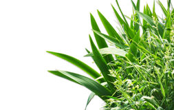 Isolated grass Royalty Free Stock Photography