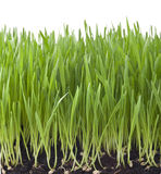 Isolated Green Grass Background. Fresh tall grass from dirt and seeds to tall green shoots isolated on white Royalty Free Stock Photo