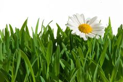Isolated grass with daisy. Isolated green grass with daisy flower on white background Royalty Free Stock Photos