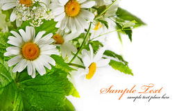 Isolated grass with daisy Stock Image