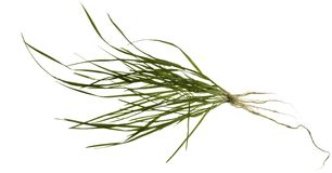 Isolated grass plant Royalty Free Stock Images