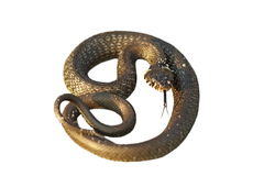 Isolated grass snake Stock Photography