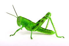 Isolated grasshopper, sideview Stock Photography