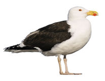 Isolated Great Black-backed Gull Stock Image