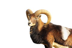Isolated great mouflon ram Stock Photography