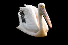 Isolated great pelican Stock Image