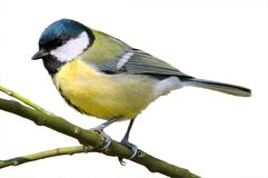 Isolated great tit on branche Royalty Free Stock Photos