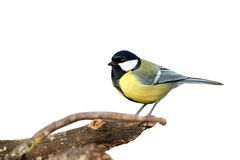 Isolated great tit with place for text Stock Image