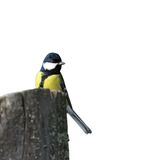Isolated great tit on stump Stock Image