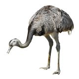 Isolated greater rhea Royalty Free Stock Images