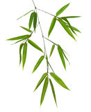 Isolated green bamboo branch Royalty Free Stock Images