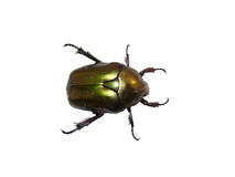 Isolated green beetle Stock Images
