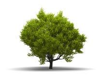 Isolated green broadleaf tree Royalty Free Stock Photo