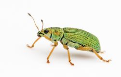 Free Isolated Green Bug Royalty Free Stock Photos - 5530118