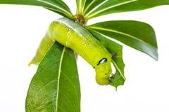 Green caterpillar on tree Stock Image