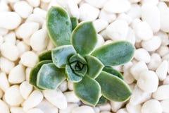 Desert rose on white pebbles Royalty Free Stock Photo