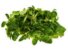 Isolated green field salad. Corn salad (Valerianella locusta) a edible leaf vegetable over white stock image
