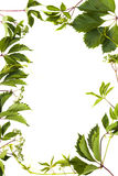 Isolated green foliage Royalty Free Stock Photo