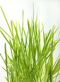 Isolated green grass. On a white background Stock Photography