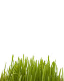 Isolated green grass. Green wheat isolated on white Stock Image
