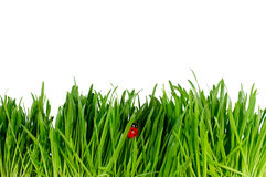 Isolated green grass and ladybug on white backgrou Royalty Free Stock Photography