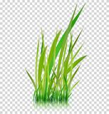 Green grass, vector illustration. Isolated green grass vector illustration Stock Illustration