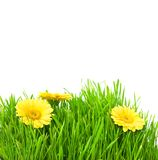 Isolated green grass with yellow flowers. On a white background royalty free stock photos