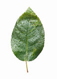 Isolated Green Leaf Royalty Free Stock Image