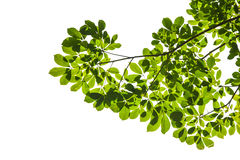 Isolated green leaf with clipping path Stock Photography