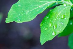 Isolated Green Leaf with Waterdrops Royalty Free Stock Image