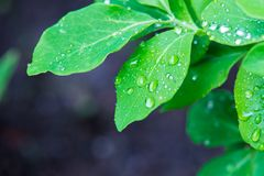 Isolated Green Leaf with Waterdrops Stock Images