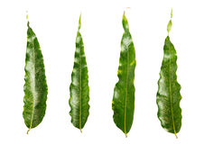 Isolated green leaf Royalty Free Stock Photo