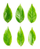 Isolated green leaf Royalty Free Stock Photography