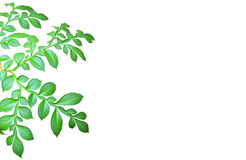 Isolated green leaves Royalty Free Stock Image