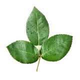 Isolated Green Leaves Royalty Free Stock Photo